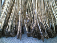 Raw Materials - Manau root
